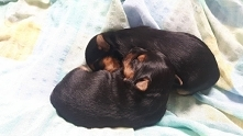 Moje Robaczki <3 Szczenięta Yorkshire terrier :)