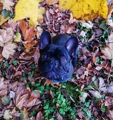 Jesienny buldog na jesienny...