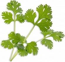 Wkład nasienny Lingot zioła podstawowe kolendra