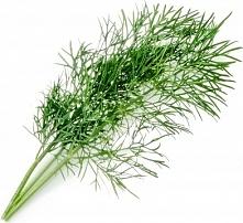 Wkład nasienny Lingot zioła podstawowe koper