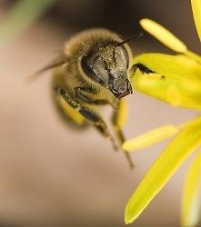 Pyłek pszczeli ......
