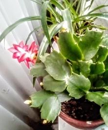 Pierwszy kwiat grudnika w tym roku :-)