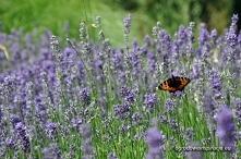 Lawenda - wabi pszczoły i motyle