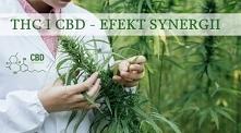 """Kiedy THC i CBD łączą się, dzieje się magia. Istnieje wspólny termin """"EFEKT ENTOURAGE"""", który oznacza, że obie substancje, THC i CBD wzmacniają pozytywne cechy drugiej..."""