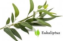 Eukaliptus - właściwości i zastosowanie