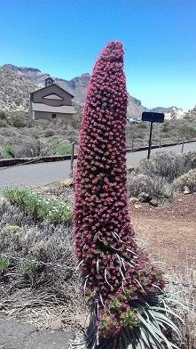 Roślina hiszpańskiej wyspy Teneryfa :))