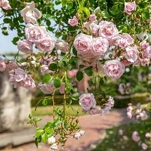 Róża 'New Dawn'