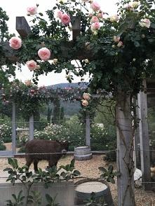 "Róża ""Eden"""
