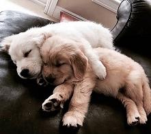 Pieski małe dwa