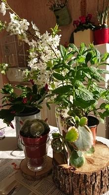 Przedwiośnie i kwitniemy sobie. Grudnik w marcu. Mentha spicata niezawodna w ...