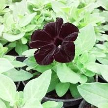 Czarna petunia