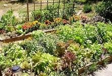Dobre sąsiedztwo warzyw w o...