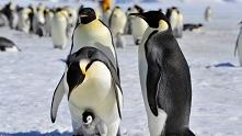 pingwin oświadcza się swoje...