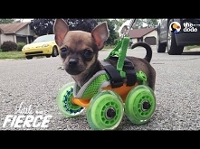 Tiniest Puppy Loves To Race...