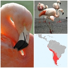 Flaming chilijski