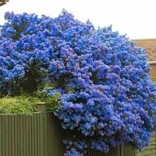 Prusznik niebieski Victoria