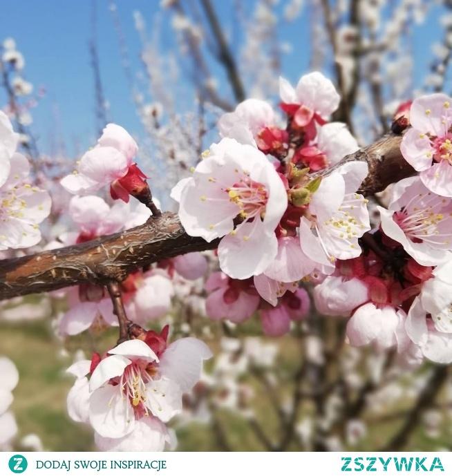 W końcu widać wiosnę! Sady powoli rozkwita ja, tworząc niesamowite widoki! Instagram => @nieidentyczna