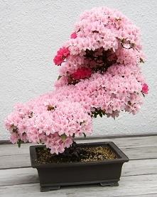 Bonsai sztuka miniaturyzacji drzew, której korzenie pochodzą z Chin. Obecnie ...