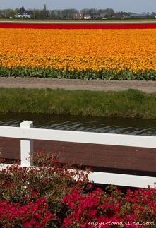 Pola kwiatowe w Bollenstree...