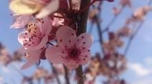 """Śliwa wiśniowa """"nigra&..."""