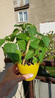 Co to może być za roślinka? Wyrosły takie krzaczki z chińskich nasion które m...