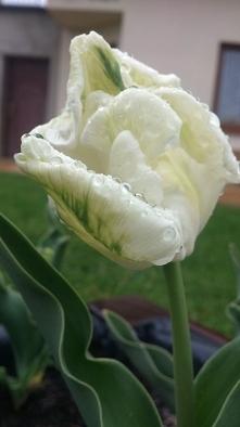 ach te tulipany <3