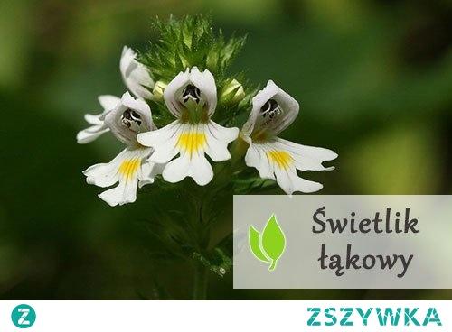 Świetlik łąkowy - właściwości lecznicze