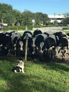 Dziwna rasa krowy :D