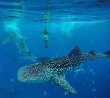 Rekiny wielorybie piękne zwierzęta <3