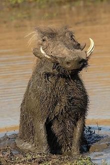 Pumba.