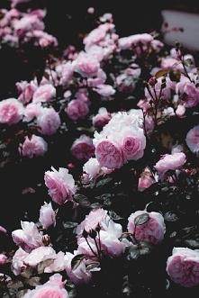 różowe róże ...