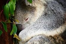 Eukaliptus - właściwości zd...