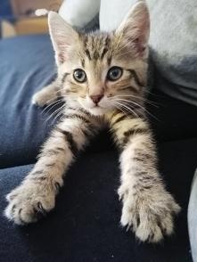 Mam tego szkraba w domu od miesiąca i wciąż nie mogę znaleźć odpowiedniego imienia. Jest to koci chłopiec, bardzo lubi się przytulać, ale jeszcze bardziej gryźć i drapać. Jest t...