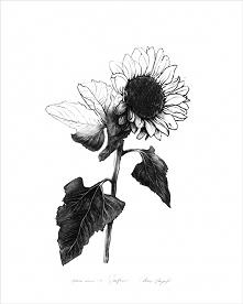 Sunflower|print|50x70 cm