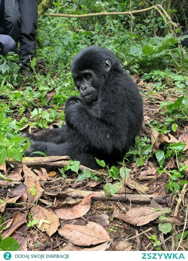 Biwindi Rainforest - Uganda Znaleźć goryle w dżungli... to dopiero przygoda