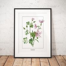 Plakat botaniczny Bodziszek...
