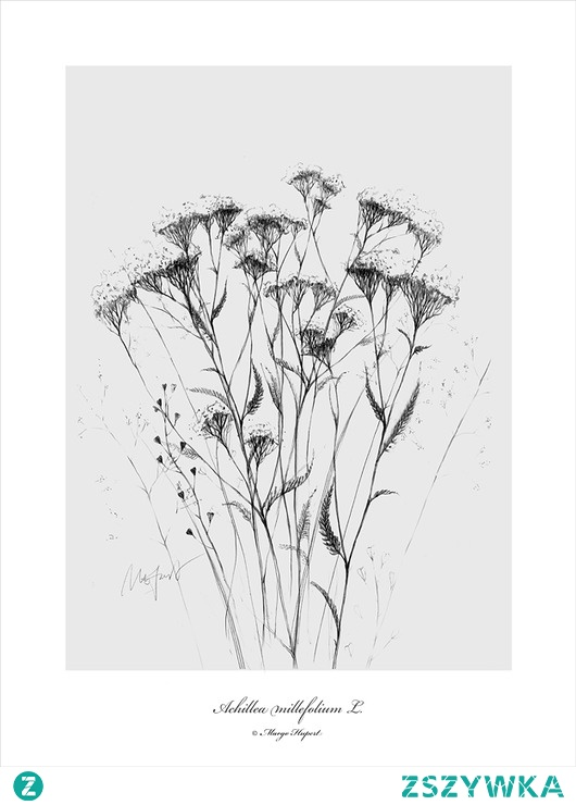 Krwawnik print   50x70 cm