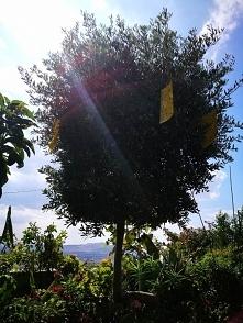 Drzewko oliwne.