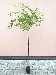 Wierzba całolistna na pniu Hakuro Nishiki Salix integra