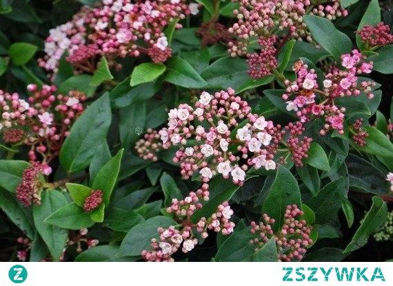 Kalina wawrzynowata Eve Price Viburnum tinus