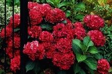 OPISGWARANCJA Hortensja Hot Red to piękna, hortensja bukietowa czerwona, któr...