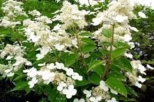 Hortensja bukietowa Prim White PBR Odmiana hortensji bukietowych, która zakwi...