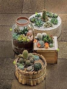 Kaktusom w każdej doniczce ...