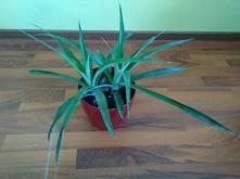 ananasowe bliźniaczki :)