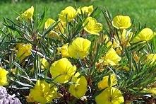 Wiesiołek missouryjski Wspaniała bylina, która charakteryzuje się bardzo dług...