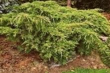 Jałowiec Pfitzera Pfitzeriana Aurea Juniperus pfitzeriana