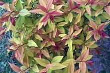TAWUŁA JAPOŃSKA MACROPHYLLA SPIRAEA JAPONICA Tawuła japońska Macrophylla jest...