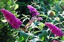 BUDLEJA DAWIDA ROYAL RED BUDDLEJA DAVIDII Odmianę Royal Red charakteryzują zebrane w kwiatostany do 30 cm długości winnoczerwone, purpurowe kwiaty z pomarańczowym oczkiem, wabią...
