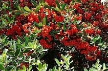 OGNIK ORANGE GLOW PYRACANTHA Ognik Orange Glow jest ciernistym krzewem o pokroju wyprostowanym. Roślina świetnie nadaje się do sadzenia wzdłuż ogrodzeń i do miejskich ogrodów (u...