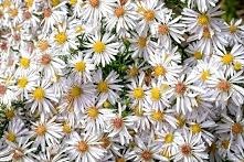 Aster Weiss dumosus to wyjątkowa roślina ozdobna. Największą ozdobą astra krz...